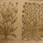 1597 1st John Gerarde Herball Plants English Herbal Illustrated Stirpium Botany