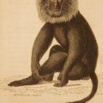 1833 1ed MONKEY Evolution Primate Chimpanzee Orangutan Color Illustrated Jardine